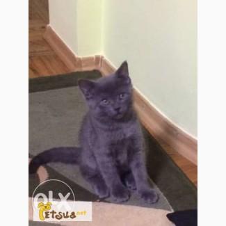Продам котят породы Русская голубая