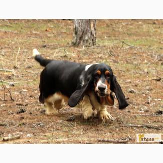 Бассет-хаунд щенки Breen-Brass