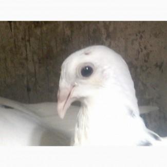 Продам голубей породы одесский горбоносый