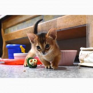 Абиссинская девочка котенок