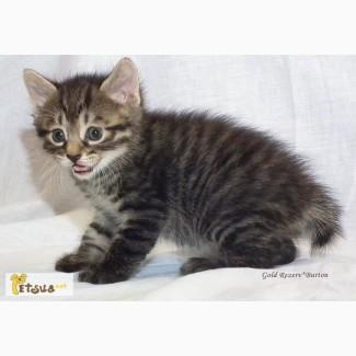 Клубный котенок курильский бобтейл