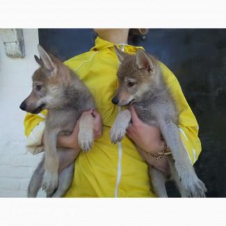 Чехословацкий влчак, щенки
