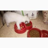 Продам сиамские котята