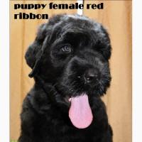 Предлагаются к продаже чистокровные щенки русского чёрного терьера