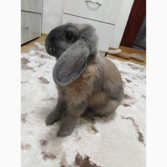 Отдам в хорошие руки декоративного кролика породы веслоухий баран