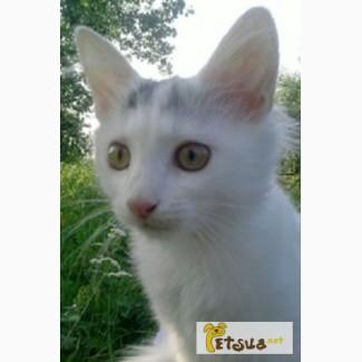 Ангорские котята - большой выбор