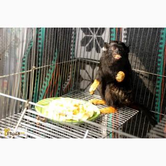 Тамарины краснорукие и желторукие - ручные карликовые обезьянки