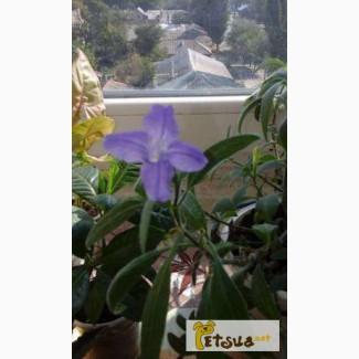 Руэллия неприхотливое быстрорастущее и очень красивое растение