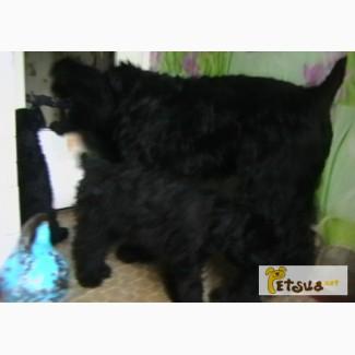 Племенные щенки чёрного терьера
