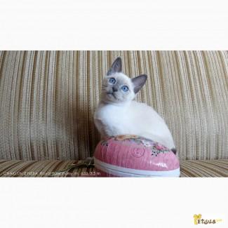 Тайские котята, мальчики, потомки Чемпионов Мира. Элита породы