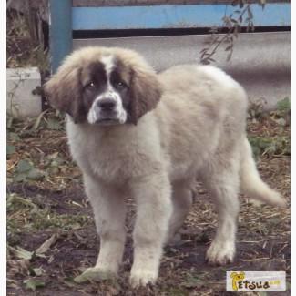 Продам щенков Московская Сторожевая