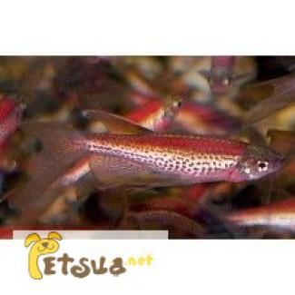 Рыбки Данио взрослые, 6 см. Улитки катушки