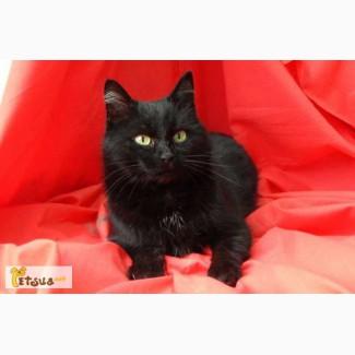 Дуглас,метис бомбейского кота.