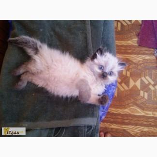 Продам балинезийских котят